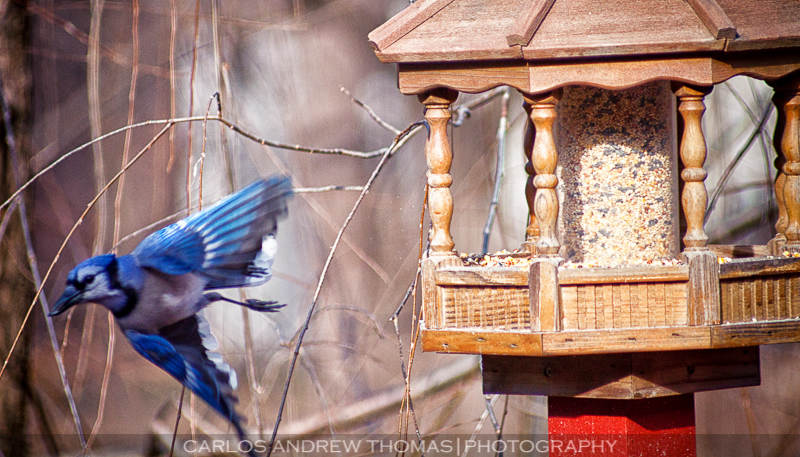 Bluejay had its fill