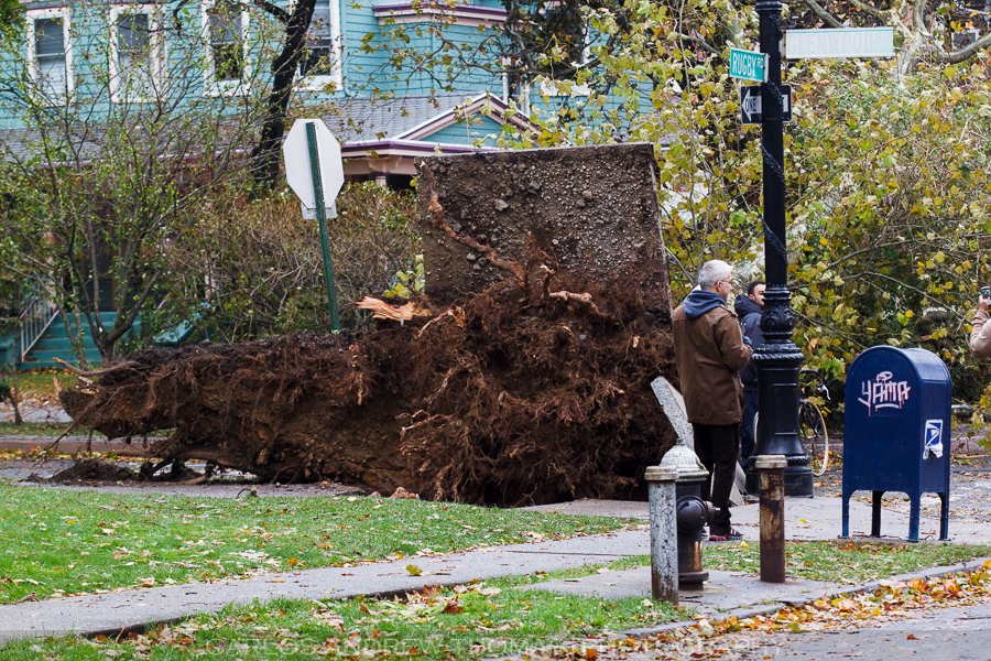 Uprooted trees after Hurricane Sandy